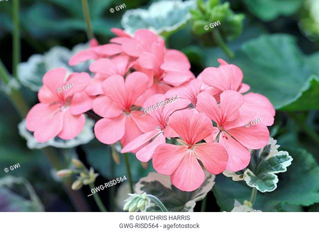 PELARGONIUM 'FRANK HEADLEY' (AGM)