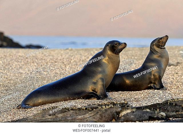 Ecuador, Galapagos Islands, Fernandina, two sea lions lying on beach