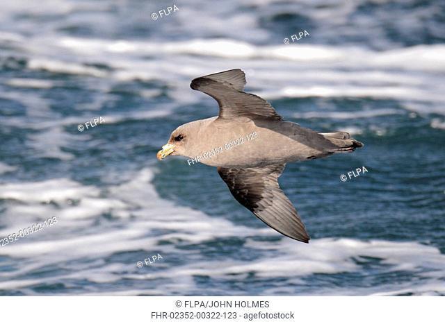 Northern Fulmar Fulmarus glacialis rodgersii intermediate morph, adult, in flight over sea, near Kamchatka Peninsula, Kamchatka Krai, Russian Far East, Russia