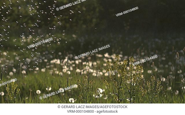 Common Dandelion, taraxacum officinale, seeds being blown and dispersed by wind, Slow motion