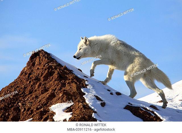 Polar-wolf, Canis lupus arctos, rocks, snow