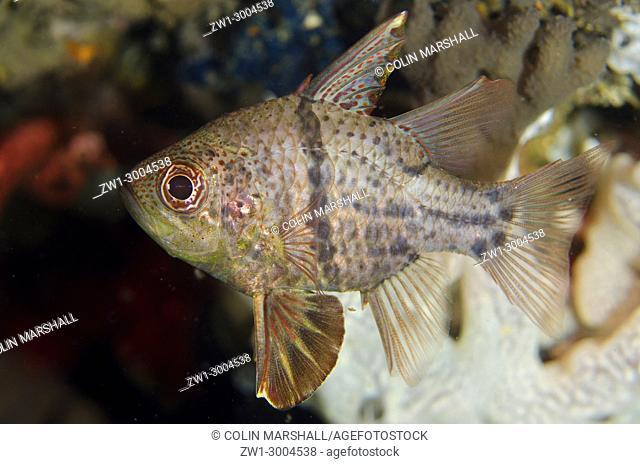 Orbicular Cardinalfish (Sphaeramia orbicularis), Night dive, TK1 dive site, Lembeh Straits, Sulawesi, Indonesia