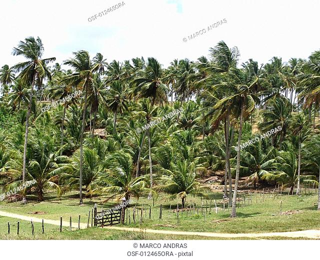 palm cocoa coconut trees plantation from northeast