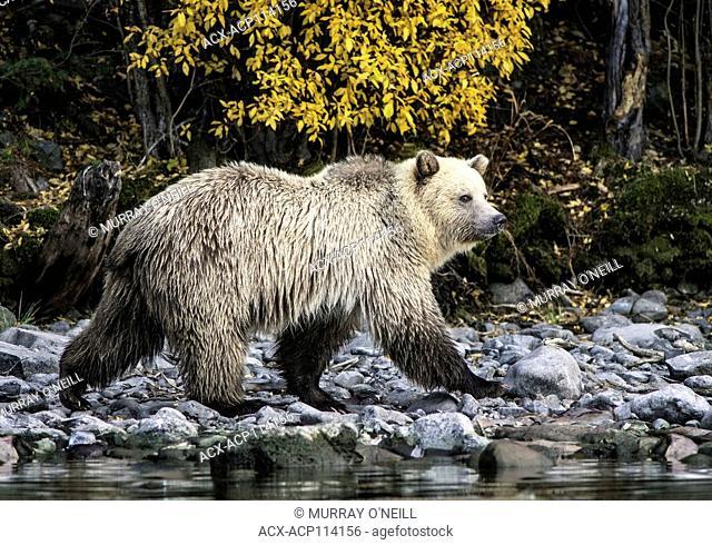 Grizzly Bear (Ursus arctos horribilis), Third year pale blond cub, walking on salmon stream river bank, Sockeye Salmon (oncorhynchus nerka) carcasses
