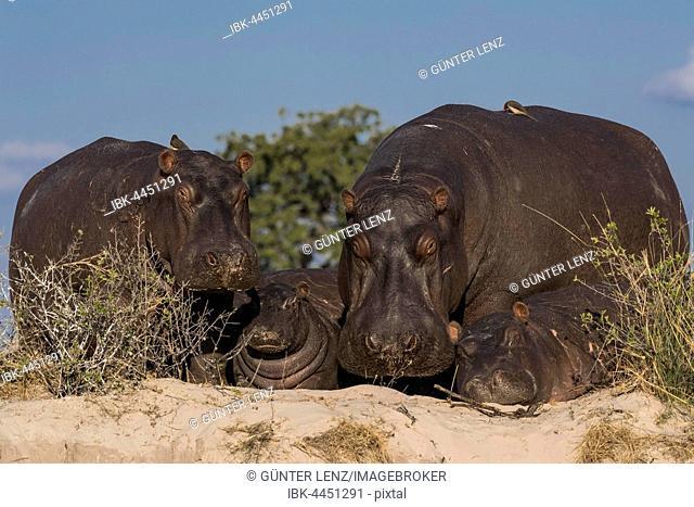 Hippopotamus (Hippopotamus amphibius), family with young on riverbank, Chobe River, Chobe National Park, Botswana