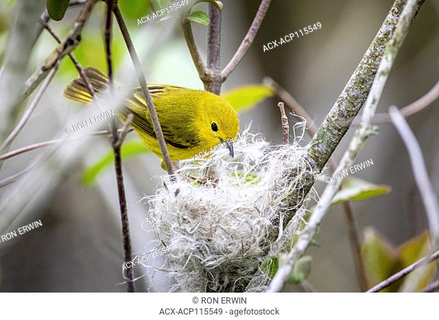 Female Yellow Warbler (Setophaga petechia) building a nest of fluffy plant fibres and spider webs, Prince Edward Point National Wildlife Area, Ontario, Canada