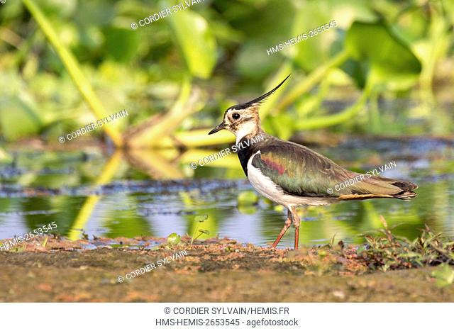 India, Assam state, Brahmapoutra, Northern Lapwing (Vanellus vanellus)