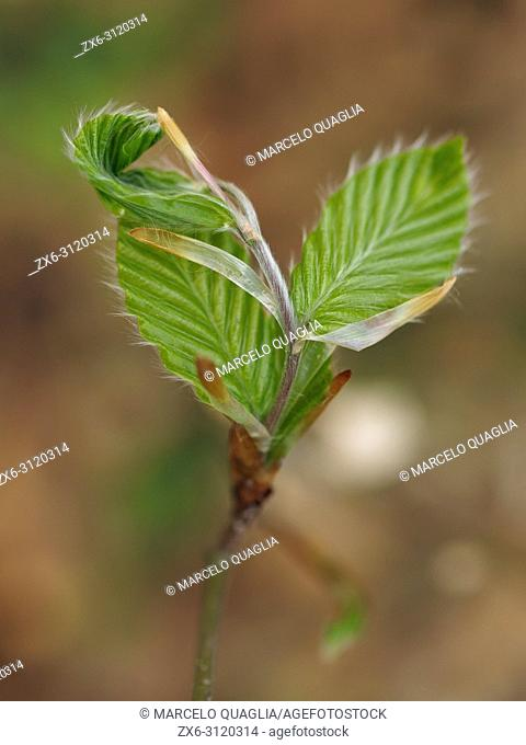 Beech leaves sprout (Fagus sylvatica). Spring time at Montseny Natural Park. Barcelona province, Catalonia, Spain