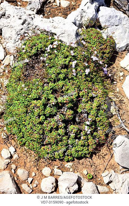 Coca de mar or siempreviva (Limonium minutum) is a perennial herb endemic to Mallorca and Menorca island, Balearic Islands, Spain
