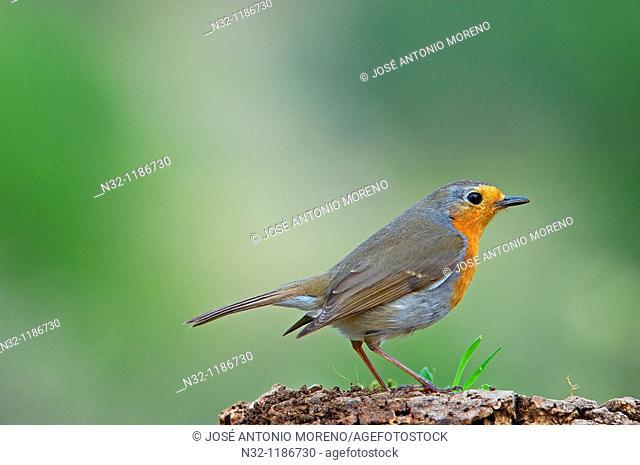 European Robin Erithacus rubecula  Jaen province, Andalusia, Spain