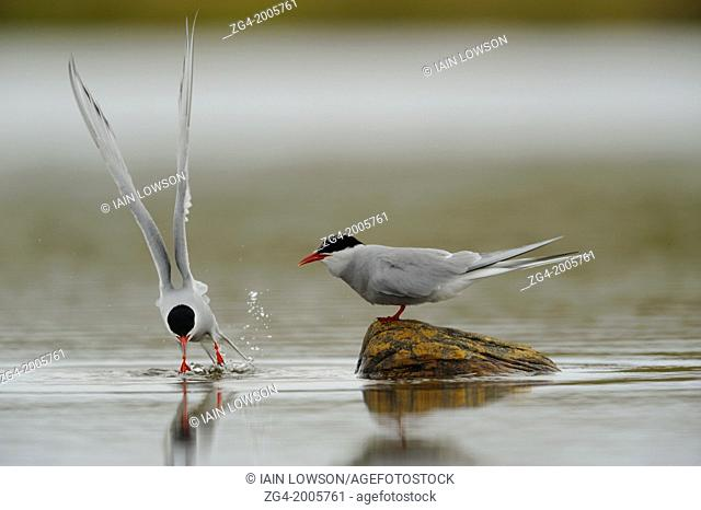 Pair of Arctic Terns, Sterna paradisaea, displaying courtship behaviour, Loch of Funzie, Fetlar, Shetland Islands, Scotland