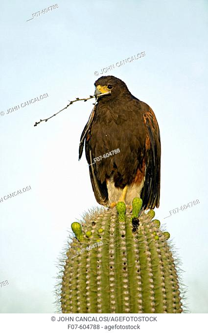 Harris' Hawk (Parabuteo unicinctus) on Saguaro cactus holding stick in beak. Arizona, USA