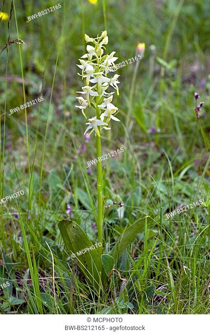 greater butterfly-orchid (Platanthera chlorantha), blooming in a meadow, France, Auvergne