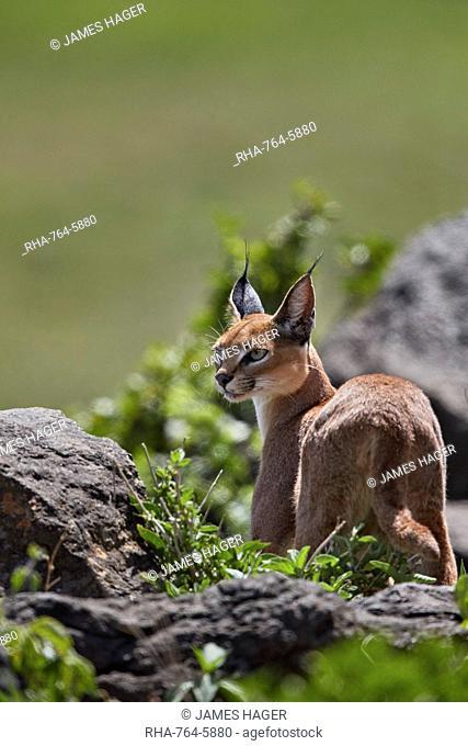 Caracal (Caracal caracal), Ngorongoro Crater, Tanzania, East Africa, Africa