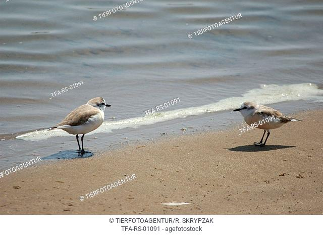 White-fronted Sand Plover