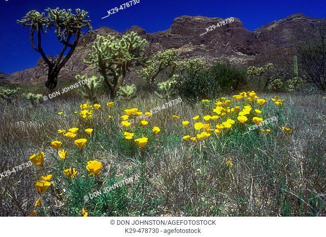 Springtime bloom of gold poppies among cholla cacti. Organ Pipe NM. Arizona. USA