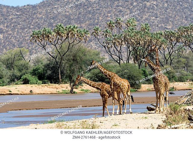 Reticulated giraffes (Giraffa reticulata) in the Samburu National Reserve in Kenya are at the Ewaso Ngiro River to drink