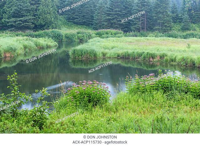 Junction Creek in summer with joe-pye-weed colonies, Greater Sudbury, Ontario, Canada