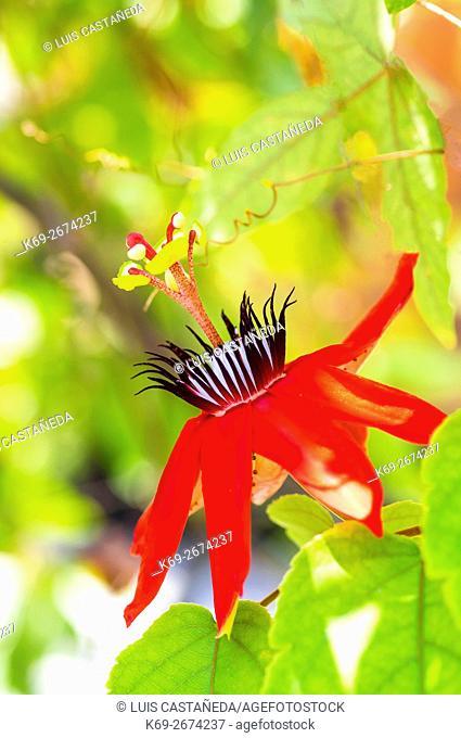 Passion Flower (Passiflora miniata)