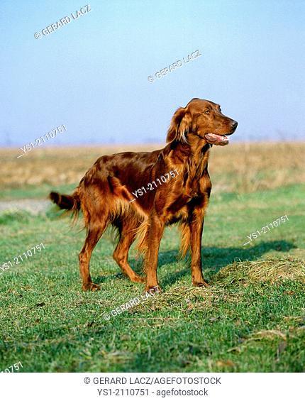 Irish Setter or Red Setter Dog