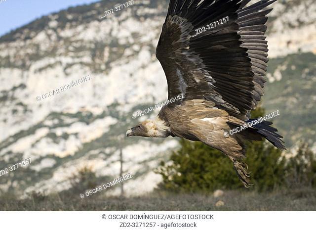 Griffon Vulture (Gyps fulvus) taking off. Lleida province. Catalonia. Spain