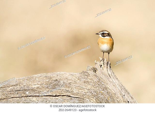 Whinchat (Saxicola rubetra) perched on old tree stump. Lleida province. Catalonia. Spain