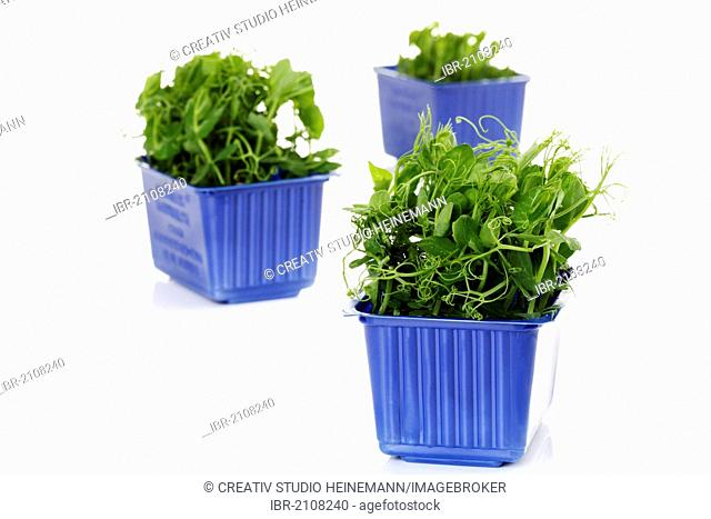 Affila cress, seed trays