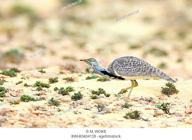 houbara bustard (Chlamydotis undulata fuerteventurae), male in semi-desert, Canary Islands, Fuerteventura