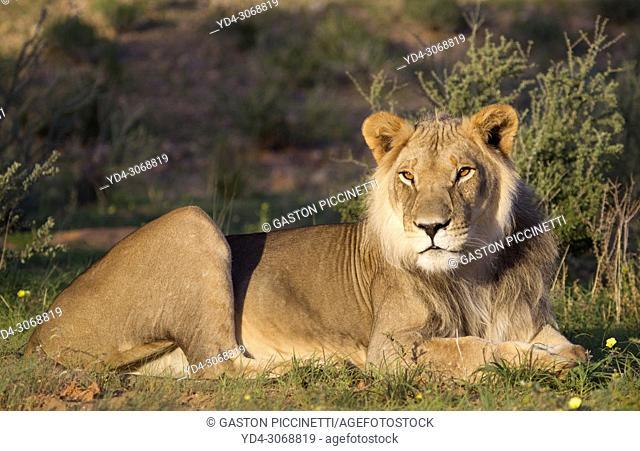 African lion (Panthera leo) -Young, Kgalagadi Transfrontier Park, Kalahari desert, South Africa/Botswana