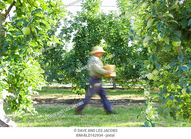 Blurred view of Caucasian farmer picking apples in orchard