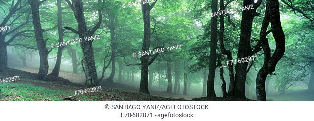 European Beech (Fagus sylvatica) forest. Mount Ortzanzurieta. Navarre. Spain