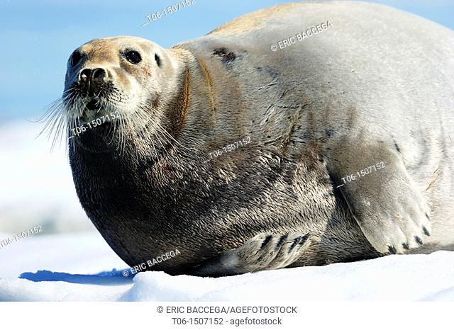 Bearded seal resting on ice Erignathus barbatus Foxe Basin, Nunavut, Canada