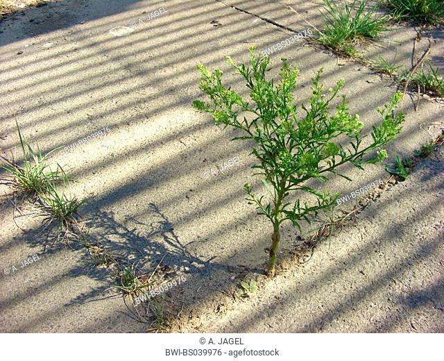 narrowleaf pepperweed, narrow-leaved pepperwort, peppergrass (Lepidium ruderale), on a sidewalk, Germany, North Rhine-Westphalia, Ruhr Area, Bochum