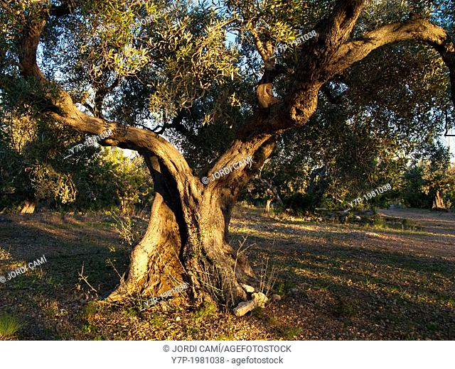 Olive tree. Tarragona province.Catalonia.Spain