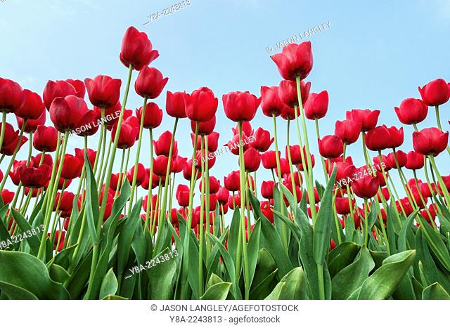 Low angle view of red tulip blossoms against blue sky, Ursem, North Holland, Netherlands