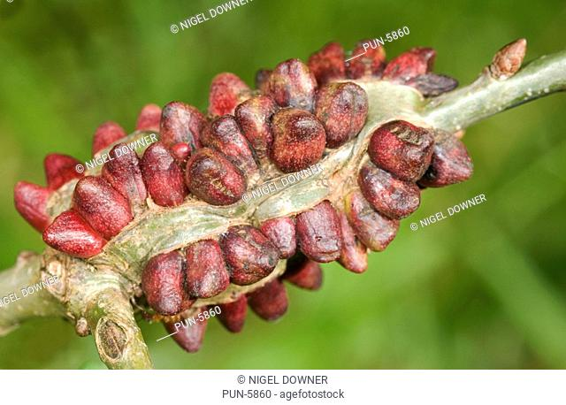 Bark galls at early red soft stage attached to branch of oak tree and caused by a gall wasp Adricus testaceipes Later the gall becomes brown and hard with a...