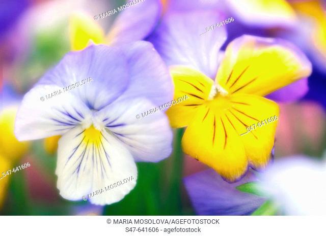 Two Pansies. Viola x wittrockiana. May 2006. Maryland, USA
