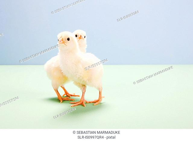 Chicks standing in studio