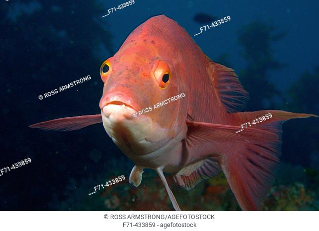 Male red pigfish (Bodianus unimaculatus). Poor Knights Islands, New Zealand. South Pacific Ocean