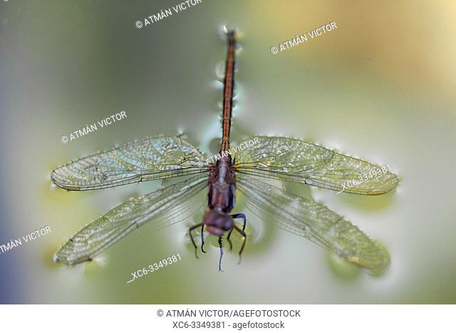 Dragonfly floating on the water