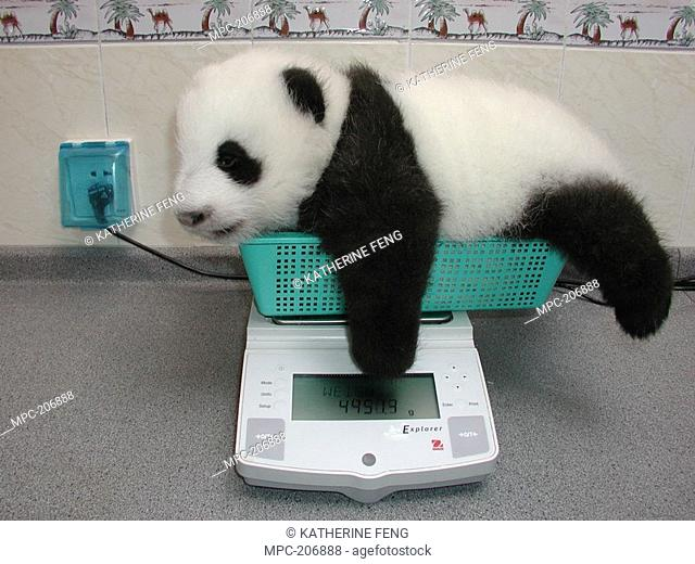GIANT PANDA Ailuropoda melanoleuca, BABY BEING WEIGHED ON A SCALE AT THE CHINA CONSERVATION AND RESEARCH CENTER FOR THE GIANT PANDA, WOLONG NATURE RESERVE