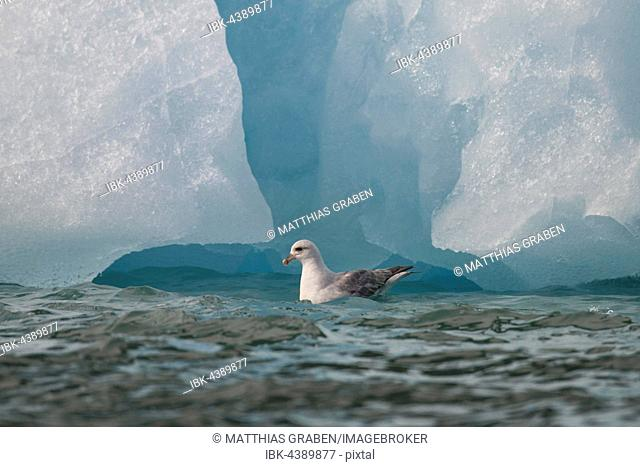 Northern or Arctic fulmar (Fulmarus glacialis), swimming in search of food in front of iceberg, Svalbard, Spitsbergen, Norway