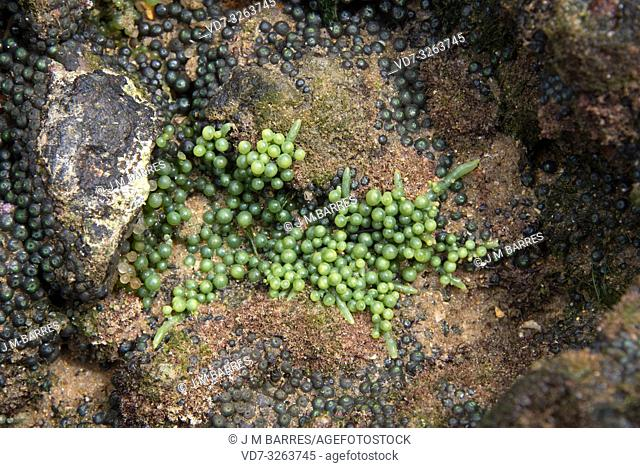 Sea grapes (Caulerpa racemosa) is a marine green alga. This photo was taken in Salvador de Bahia, Brazil