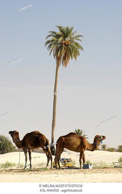 Dromedaries  Douz  Tunisia