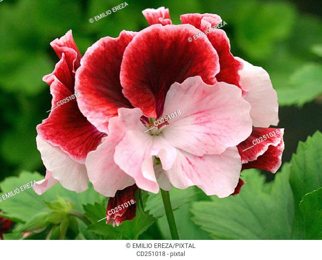 Geranium (Pelargonium sp.)