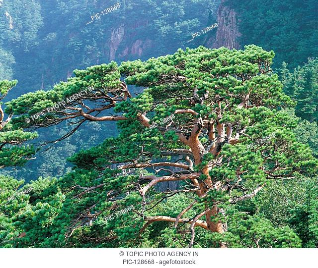 Pine Forest,Korea
