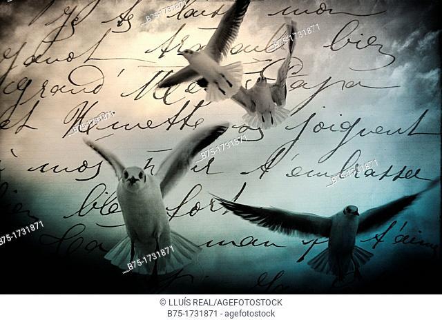 Montaje fotografico de gaviotas sobrevolando sobre un texto manuscrito, Photomontage of seagull flying over a handwriting
