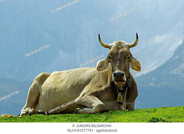 Domestic Cattle, Tyrolese Grey Cattle. Cow lying on an alpine meadow, chewing the cud. Dolomites, South Tyrol, Italy