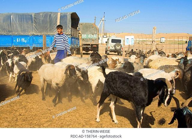 Tolkuchka bazaar sale of sheep and goats Ashgabat Turkmenistan Asgabat