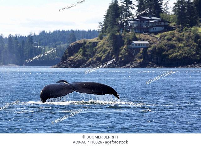 A humpback whale sounds while traveling south of Seymour Narrows, Campbell River, Vancouver Island, British Columbia, Canada
